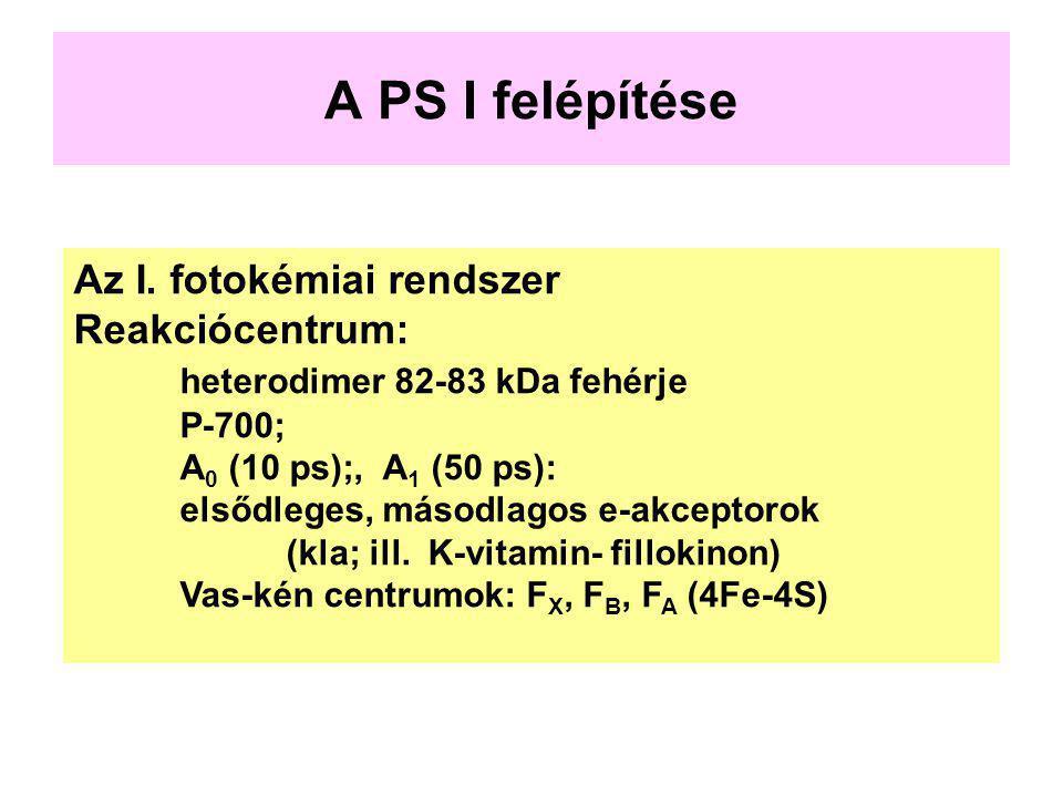 A PS I felépítése Az I. fotokémiai rendszer Reakciócentrum: heterodimer 82-83 kDa fehérje P-700; A 0 (10 ps);, A 1 (50 ps): elsődleges, másodlagos e-a
