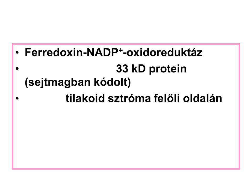 Ferredoxin-NADP + -oxidoreduktáz 33 kD protein (sejtmagban kódolt) tilakoid sztróma felőli oldalán