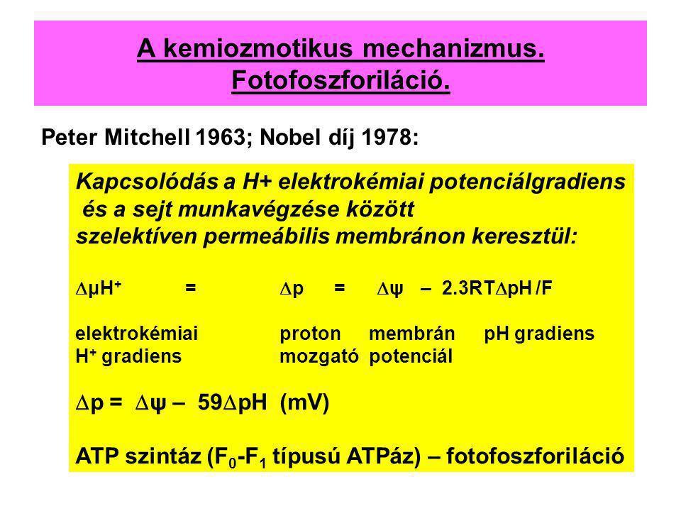 A kemiozmotikus mechanizmus. Fotofoszforiláció. Peter Mitchell 1963; Nobel díj 1978: Kapcsolódás a H+ elektrokémiai potenciálgradiens és a sejt munkav