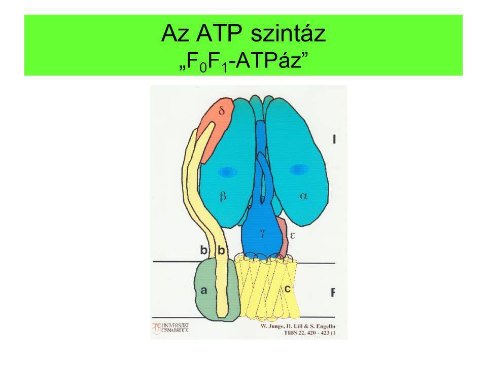 """Az ATP szintáz """"F 0 F 1 -ATPáz"""""""