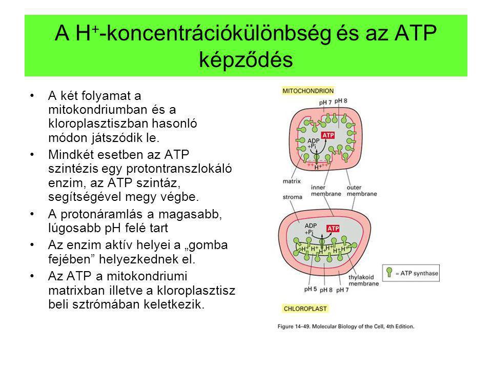 A H + -koncentrációkülönbség és az ATP képződés A két folyamat a mitokondriumban és a kloroplasztiszban hasonló módon játszódik le. Mindkét esetben az