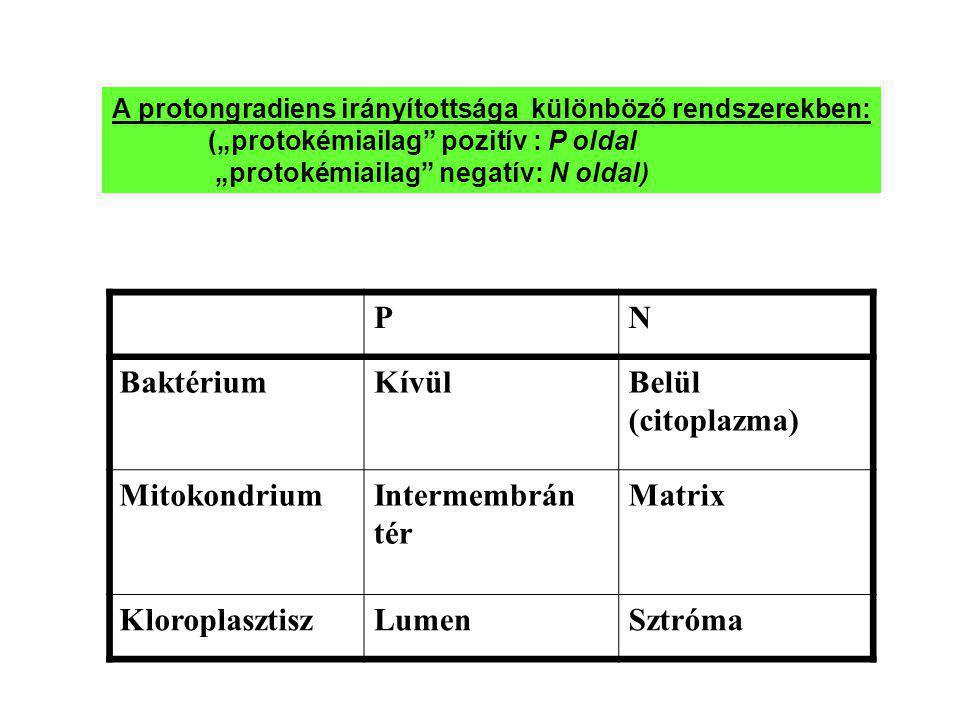 """A protongradiens irányítottsága különböző rendszerekben: (""""protokémiailag"""" pozitív : P oldal """"protokémiailag"""" negatív: N oldal) PN BaktériumKívülBelül"""