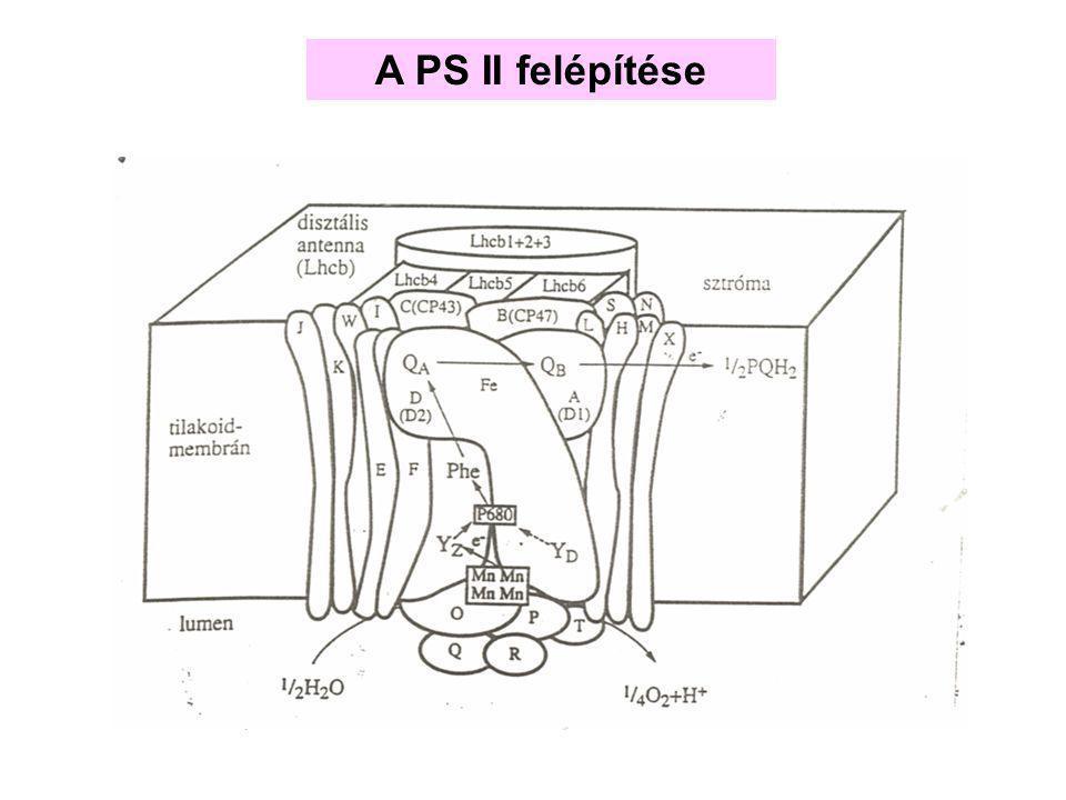 """Az ATP szintáz """"F 0 F 1 -ATPáz"""