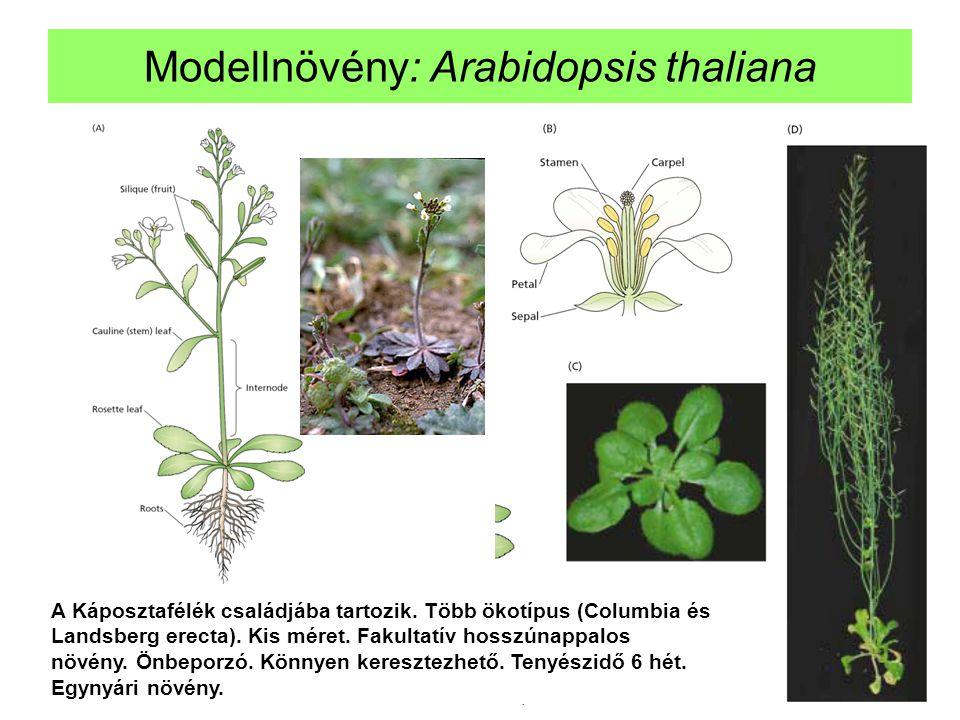 Modellnövény: Arabidopsis thaliana A Káposztafélék családjába tartozik. Több ökotípus (Columbia és Landsberg erecta). Kis méret. Fakultatív hosszúnapp