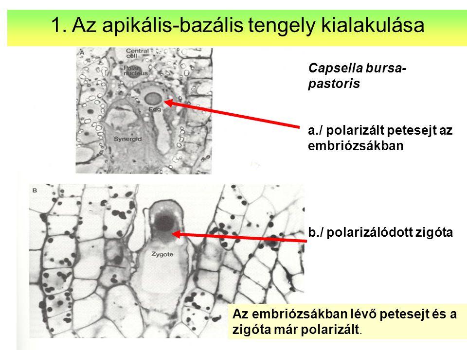 Capsella bursa- pastoris a./ polarizált petesejt az embriózsákban b./ polarizálódott zigóta Az embriózsákban lévő petesejt és a zigóta már polarizált.