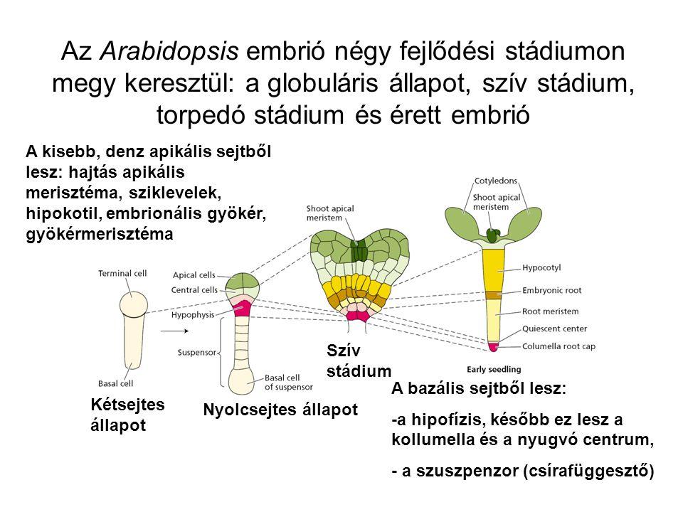 Az Arabidopsis embrió négy fejlődési stádiumon megy keresztül: a globuláris állapot, szív stádium, torpedó stádium és érett embrió Kétsejtes állapot N