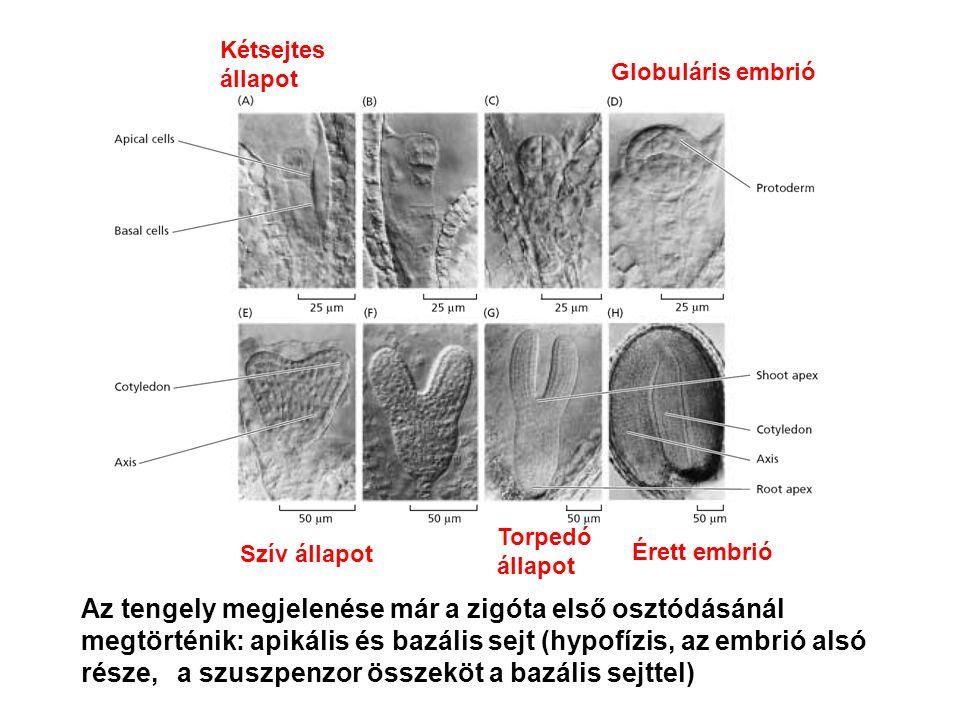 Az tengely megjelenése már a zigóta első osztódásánál megtörténik: apikális és bazális sejt (hypofízis, az embrió alsó része, a szuszpenzor összeköt a