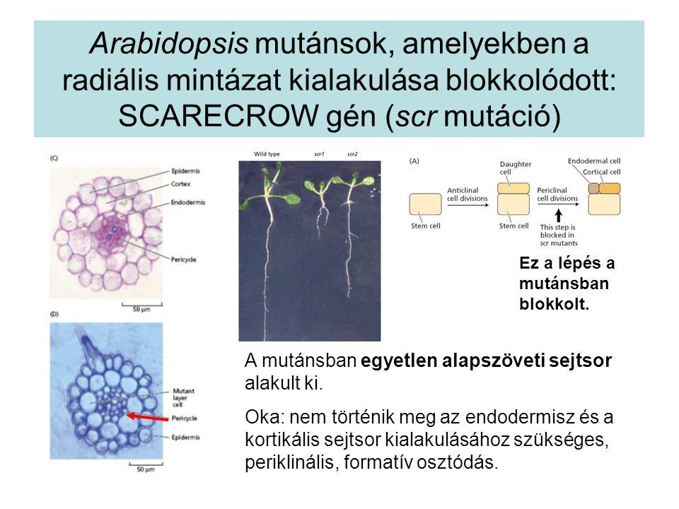 Arabidopsis mutánsok, amelyekben a radiális mintázat kialakulása blokkolódott: SCARECROW gén (scr mutáció) A mutánsban egyetlen alapszöveti sejtsor al
