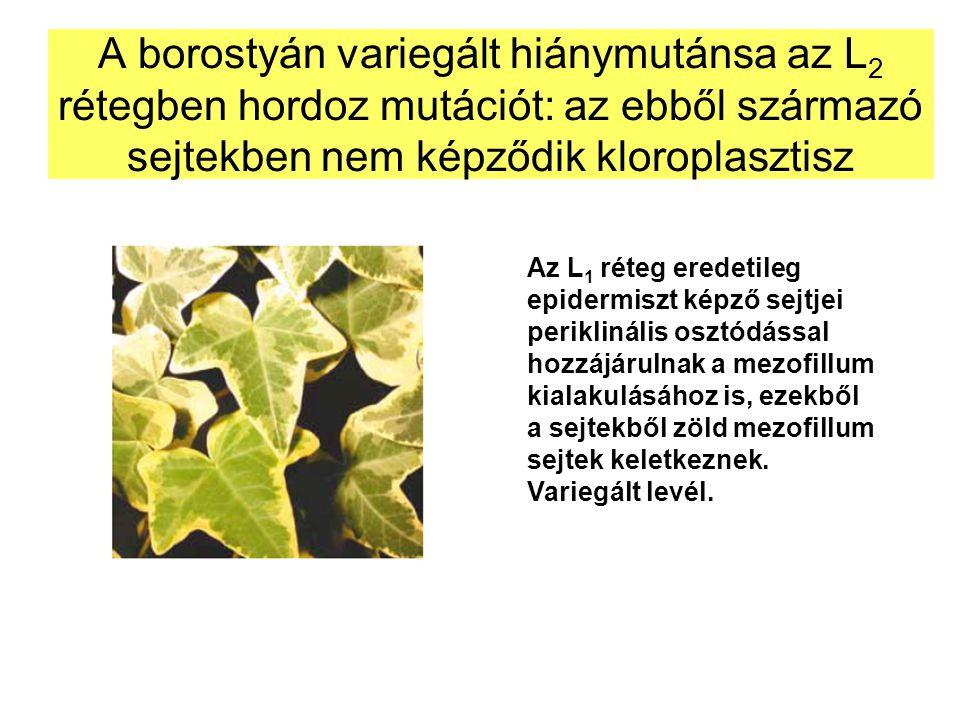 A borostyán variegált hiánymutánsa az L 2 rétegben hordoz mutációt: az ebből származó sejtekben nem képződik kloroplasztisz Az L 1 réteg eredetileg ep