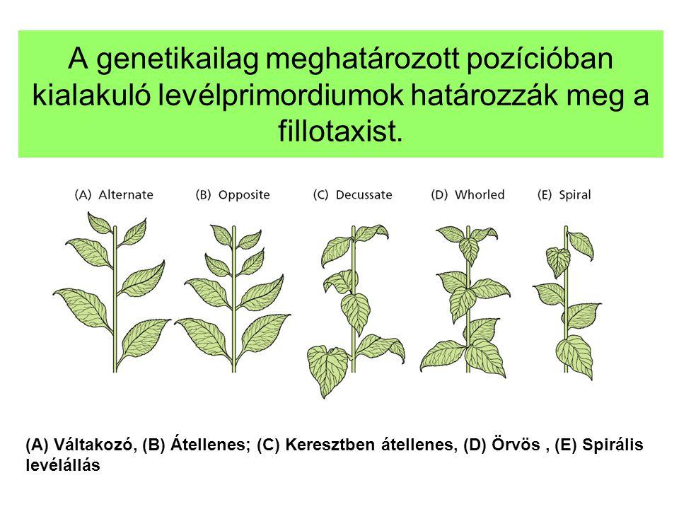 A genetikailag meghatározott pozícióban kialakuló levélprimordiumok határozzák meg a fillotaxist. (A) Váltakozó, (B) Átellenes; (C) Keresztben átellen