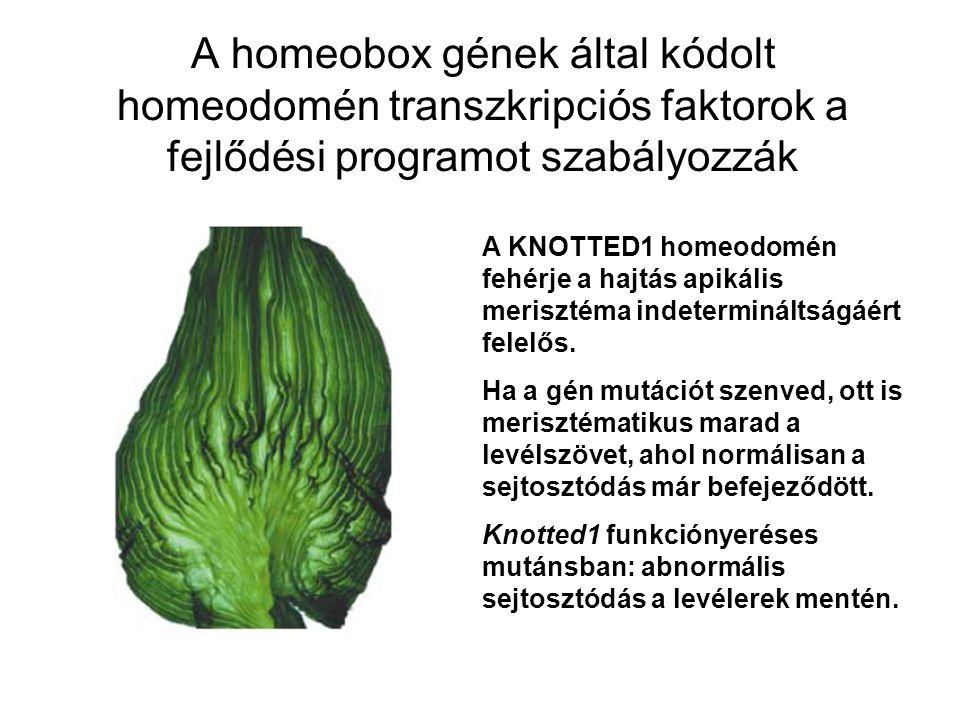 A homeobox gének által kódolt homeodomén transzkripciós faktorok a fejlődési programot szabályozzák A KNOTTED1 homeodomén fehérje a hajtás apikális me