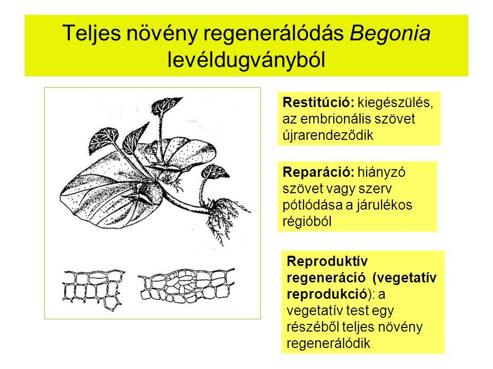 Teljes növény regenerálódás Begonia levéldugványból Restitúció: kiegészülés, az embrionális szövet újrarendeződik Reparáció: hiányzó szövet vagy szerv