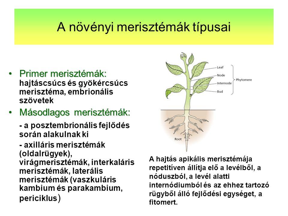A növényi merisztémák típusai Primer merisztémák:Primer merisztémák: hajtáscsúcs és gyökércsúcs merisztéma, embrionális szövetek Másodlagos merisztémá