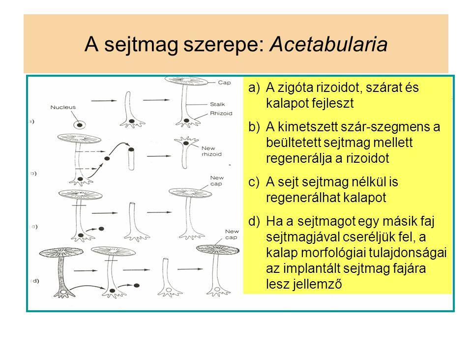 A sejtmag szerepe: Acetabularia a)A zigóta rizoidot, szárat és kalapot fejleszt b)A kimetszett szár-szegmens a beültetett sejtmag mellett regenerálja