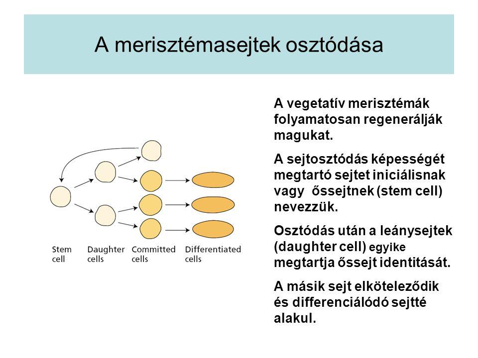 A merisztémasejtek osztódása A vegetatív merisztémák folyamatosan regenerálják magukat. A sejtosztódás képességét megtartó sejtet iniciálisnak vagy ős