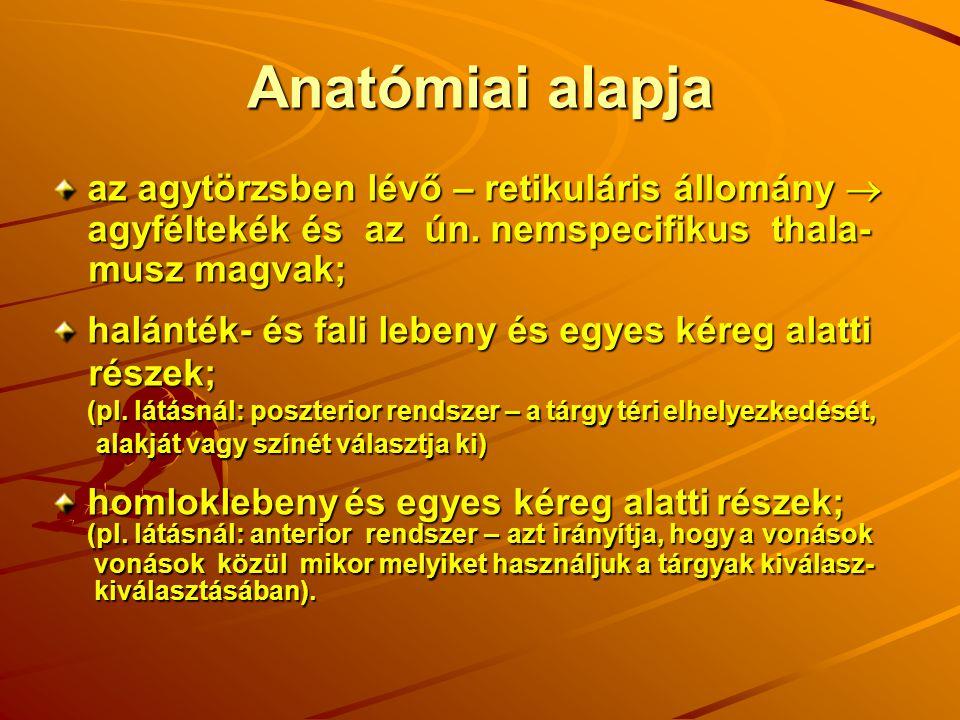 Anatómiai alapja az agytörzsben lévő – retikuláris állomány  agyféltekék és az ún. nemspecifikus thala- musz magvak; musz magvak; halánték- és fali l