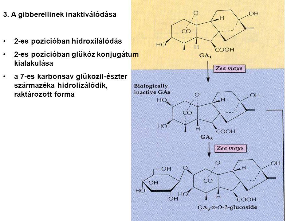3. A gibberellinek inaktiválódása 2-es pozícióban hidroxilálódás 2-es pozícióban glükóz konjugátum kialakulása a 7-es karbonsav glükozil-észter szárma