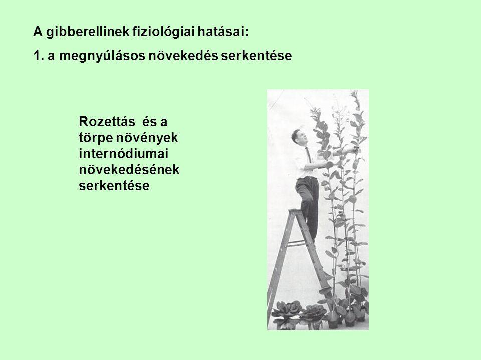 A gibberellinek fiziológiai hatásai: 1. a megnyúlásos növekedés serkentése Rozettás és a törpe növények internódiumai növekedésének serkentése