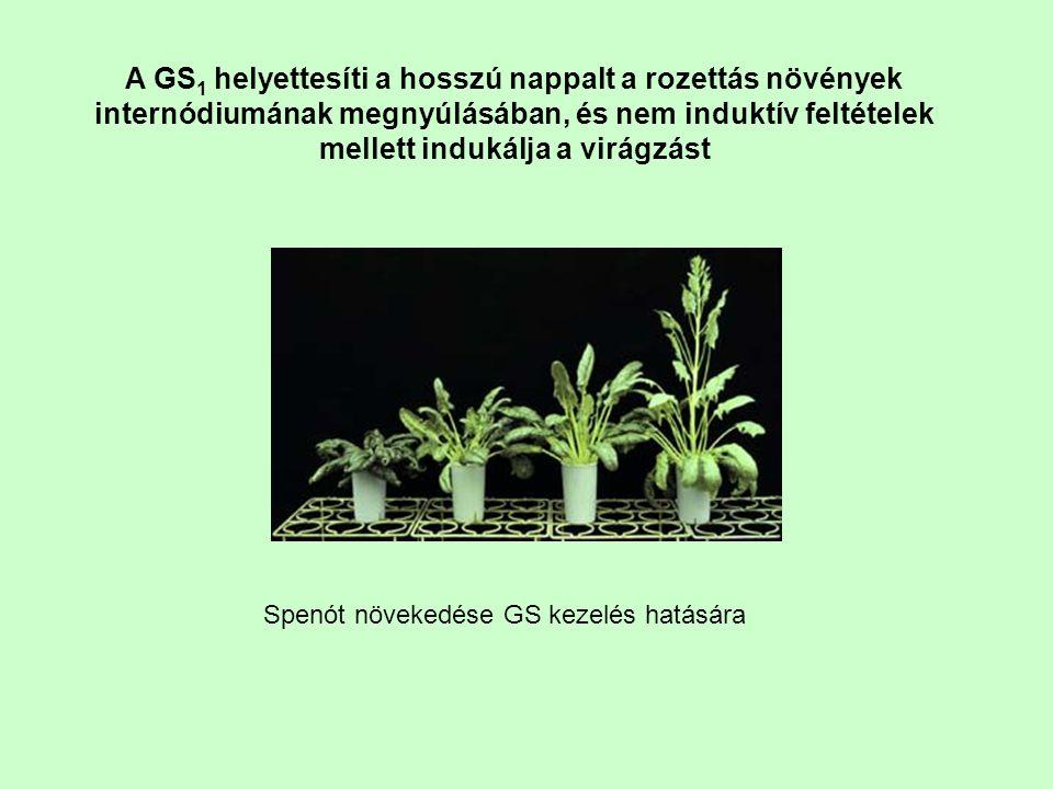 A GS 1 helyettesíti a hosszú nappalt a rozettás növények internódiumának megnyúlásában, és nem induktív feltételek mellett indukálja a virágzást Spenó