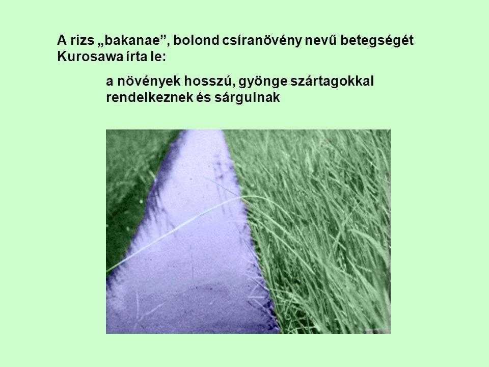 """A rizs """"bakanae"""", bolond csíranövény nevű betegségét Kurosawa írta le: a növények hosszú, gyönge szártagokkal rendelkeznek és sárgulnak"""