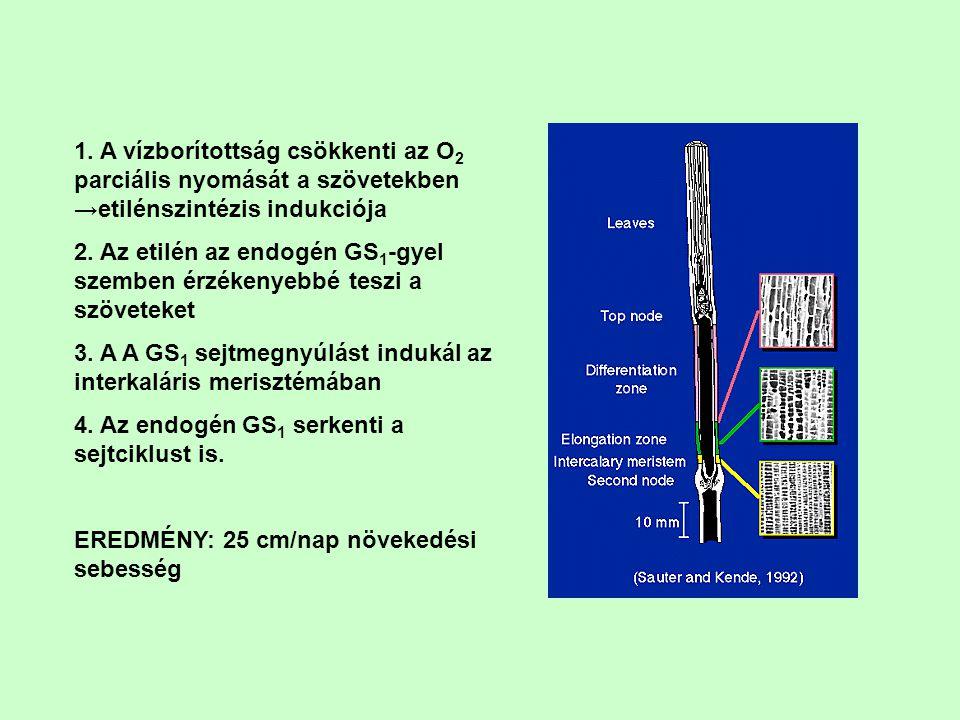 1. A vízborítottság csökkenti az O 2 parciális nyomását a szövetekben →etilénszintézis indukciója 2. Az etilén az endogén GS 1 -gyel szemben érzékenye