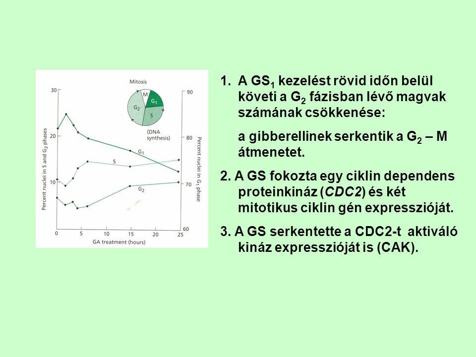 1.A GS 1 kezelést rövid időn belül követi a G 2 fázisban lévő magvak számának csökkenése: a gibberellinek serkentik a G 2 – M átmenetet. 2. A GS fokoz