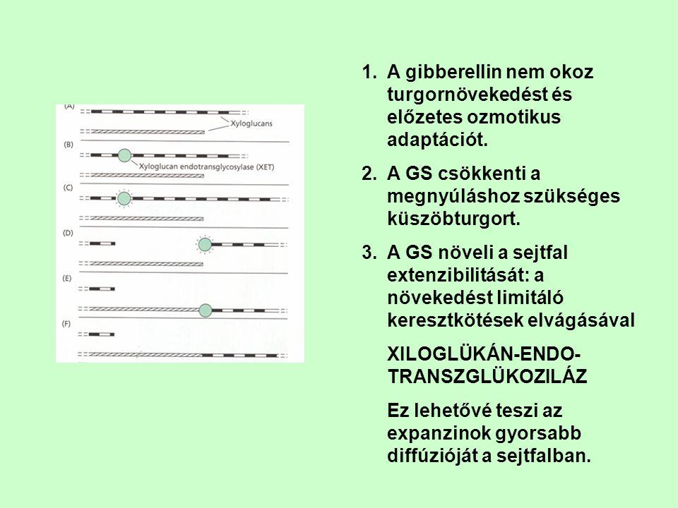 1.A gibberellin nem okoz turgornövekedést és előzetes ozmotikus adaptációt. 2.A GS csökkenti a megnyúláshoz szükséges küszöbturgort. 3.A GS növeli a s
