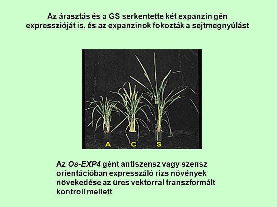 Az árasztás és a GS serkentette két expanzin gén expresszióját is, és az expanzinok fokozták a sejtmegnyúlást Az Os-EXP4 gént antiszensz vagy szensz o