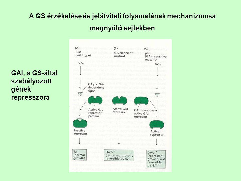 A GS érzékelése és jelátviteli folyamatának mechanizmusa megnyúló sejtekben GAI, a GS-által szabályozott gének represszora