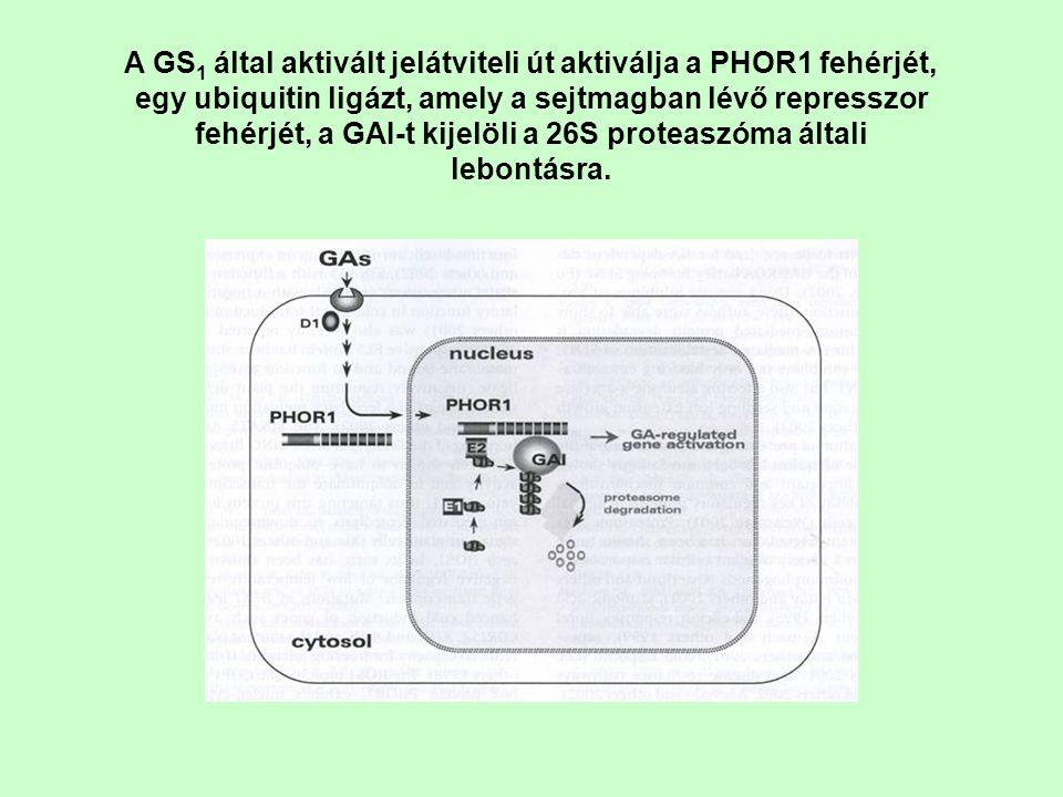 A GS 1 által aktivált jelátviteli út aktiválja a PHOR1 fehérjét, egy ubiquitin ligázt, amely a sejtmagban lévő represszor fehérjét, a GAI-t kijelöli a