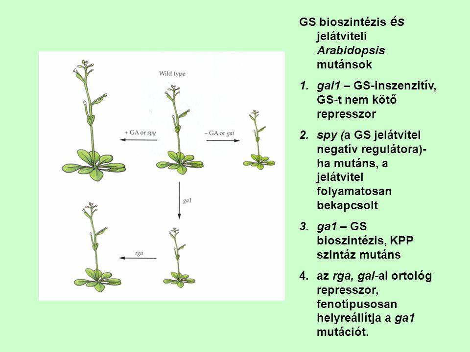 GS bioszintézis és jelátviteli Arabidopsis mutánsok 1.gai1 – GS-inszenzitív, GS-t nem kötő represszor 2.spy (a GS jelátvitel negatív regulátora)- ha m