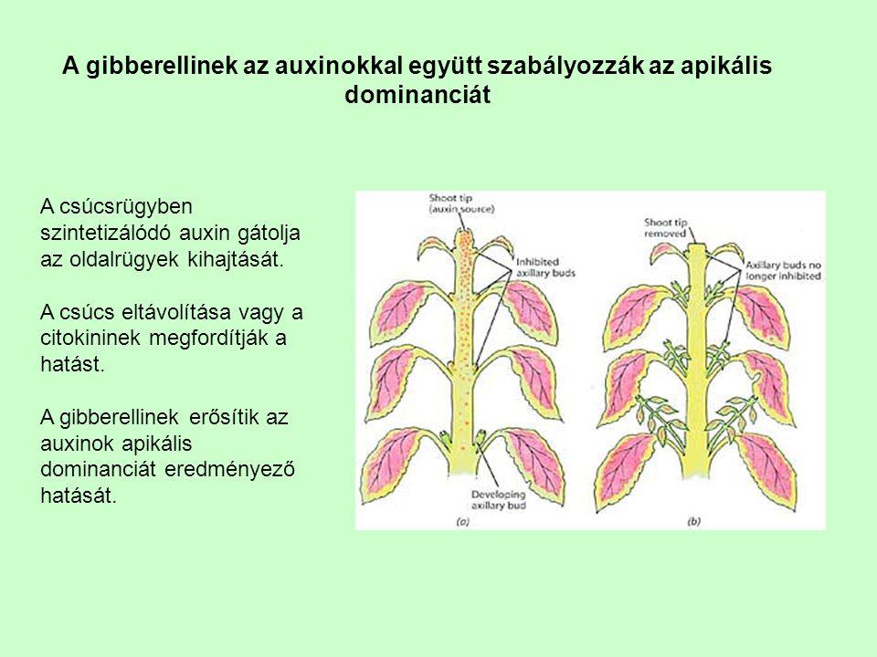 A gibberellinek az auxinokkal együtt szabályozzák az apikális dominanciát A csúcsrügyben szintetizálódó auxin gátolja az oldalrügyek kihajtását. A csú