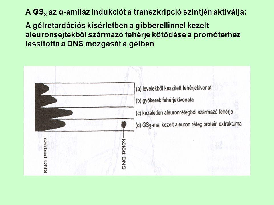 A GS 3 az α-amiláz indukciót a transzkripció szintjén aktiválja: A gélretardációs kísérletben a gibberellinnel kezelt aleuronsejtekből származó fehérj