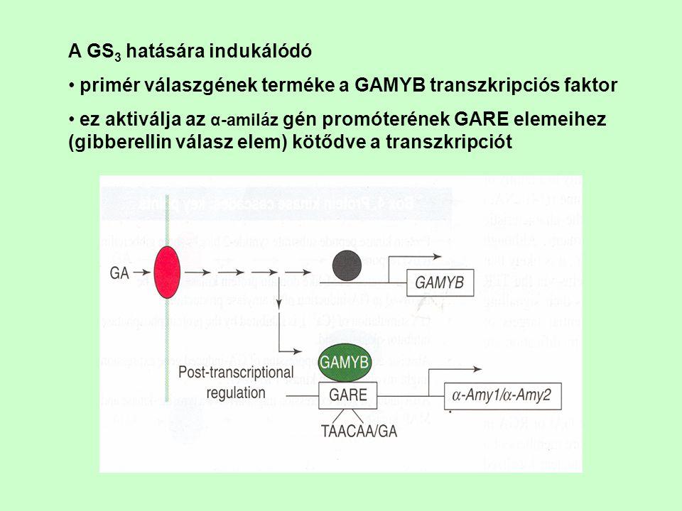 A GS 3 hatására indukálódó primér válaszgének terméke a GAMYB transzkripciós faktor ez aktiválja az α-amiláz gén promóterének GARE elemeihez (gibberel