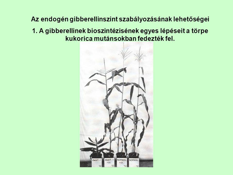 Az endogén gibberellinszint szabályozásának lehetőségei 1. A gibberellinek bioszintézisének egyes lépéseit a törpe kukorica mutánsokban fedezték fel.