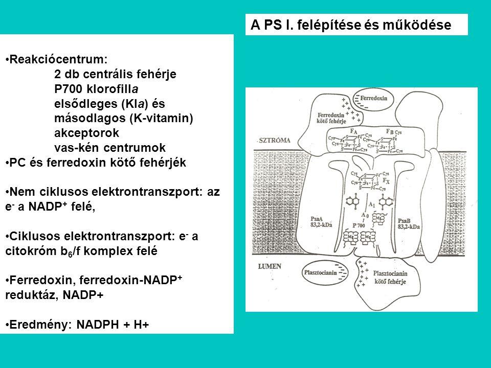 Reakciócentrum: 2 db centrális fehérje P700 klorofilla elsődleges (Kla) és másodlagos (K-vitamin) akceptorok vas-kén centrumok PC és ferredoxin kötő f
