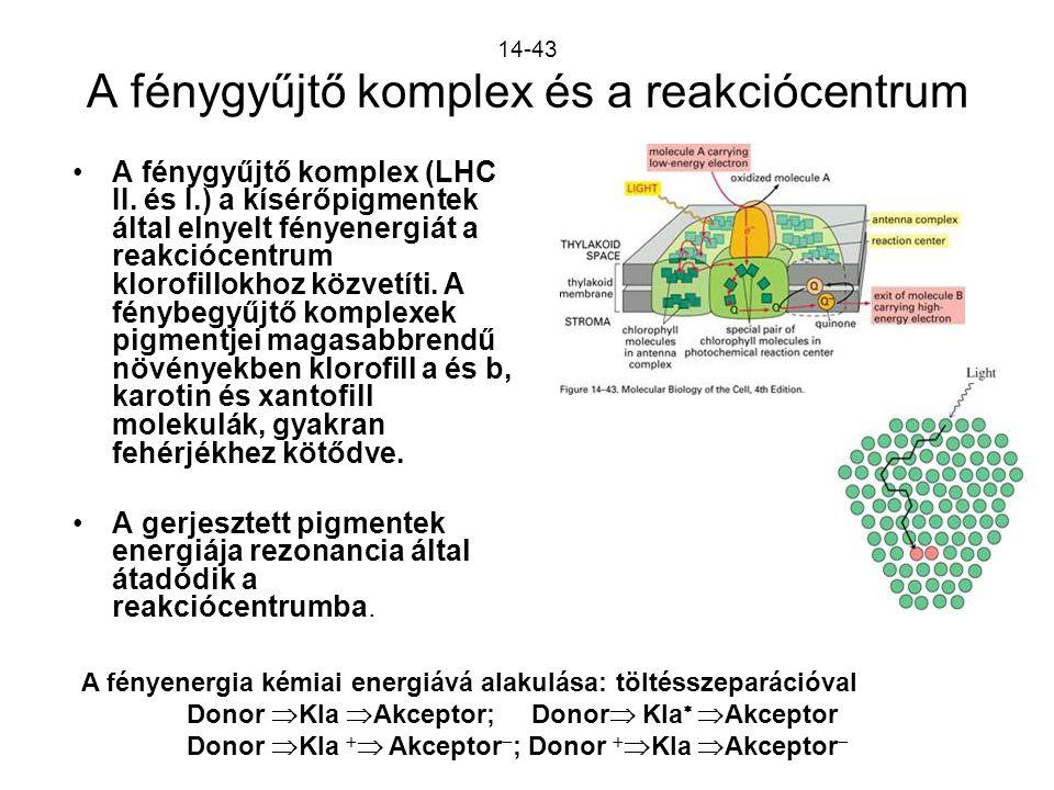 14-43 A fénygyűjtő komplex és a reakciócentrum A fénygyűjtő komplex (LHC II. és I.) a kísérőpigmentek által elnyelt fényenergiát a reakciócentrum klor
