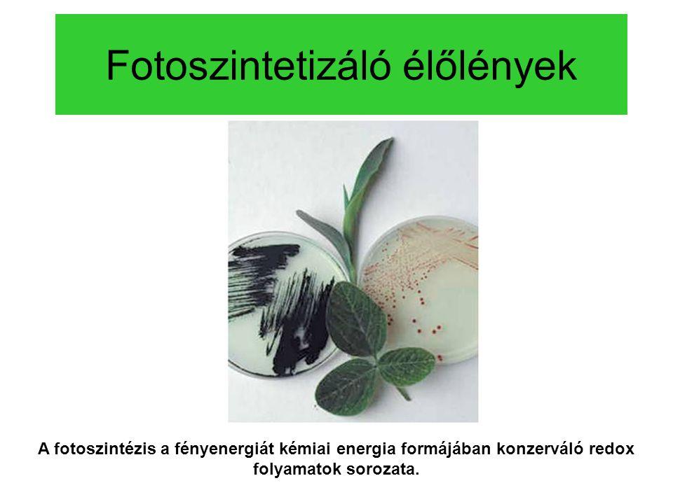 Fotoszintetizáló élőlények A fotoszintézis a fényenergiát kémiai energia formájában konzerváló redox folyamatok sorozata.