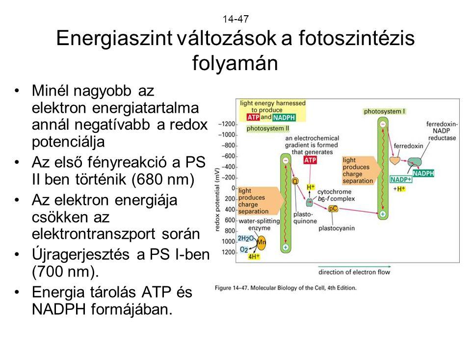 14-47 Energiaszint változások a fotoszintézis folyamán Minél nagyobb az elektron energiatartalma annál negatívabb a redox potenciálja Az első fényreak