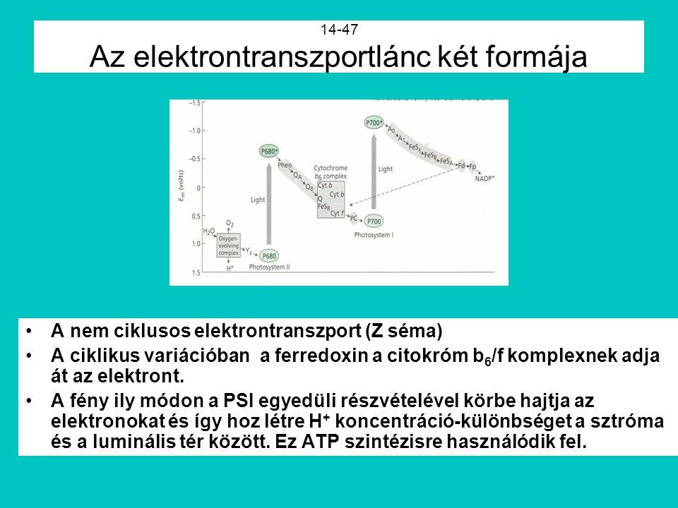 14-47 Az elektrontranszportlánc két formája A nem ciklusos elektrontranszport (Z séma) A ciklikus variációban a ferredoxin a citokróm b 6 /f komplexne