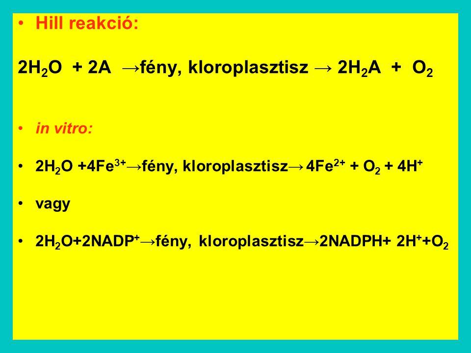 Hill reakció: 2H 2 O + 2A →fény, kloroplasztisz → 2H 2 A + O 2 in vitro: 2H 2 O +4Fe 3+ →fény, kloroplasztisz→ 4Fe 2+ + O 2 + 4H + vagy 2H 2 O+2NADP +