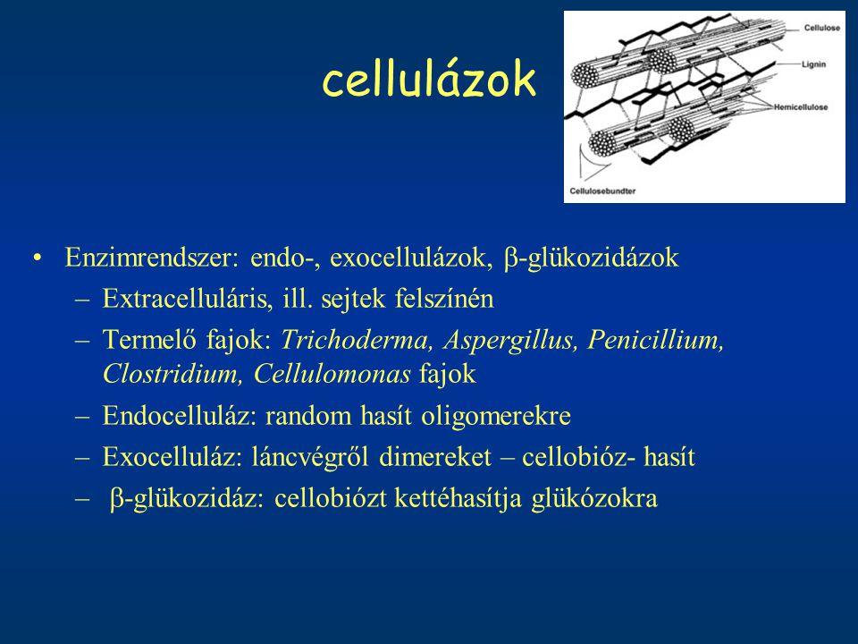 cellulázok Enzimrendszer: endo-, exocellulázok,  -glükozidázok –Extracelluláris, ill. sejtek felszínén –Termelő fajok: Trichoderma, Aspergillus, Peni