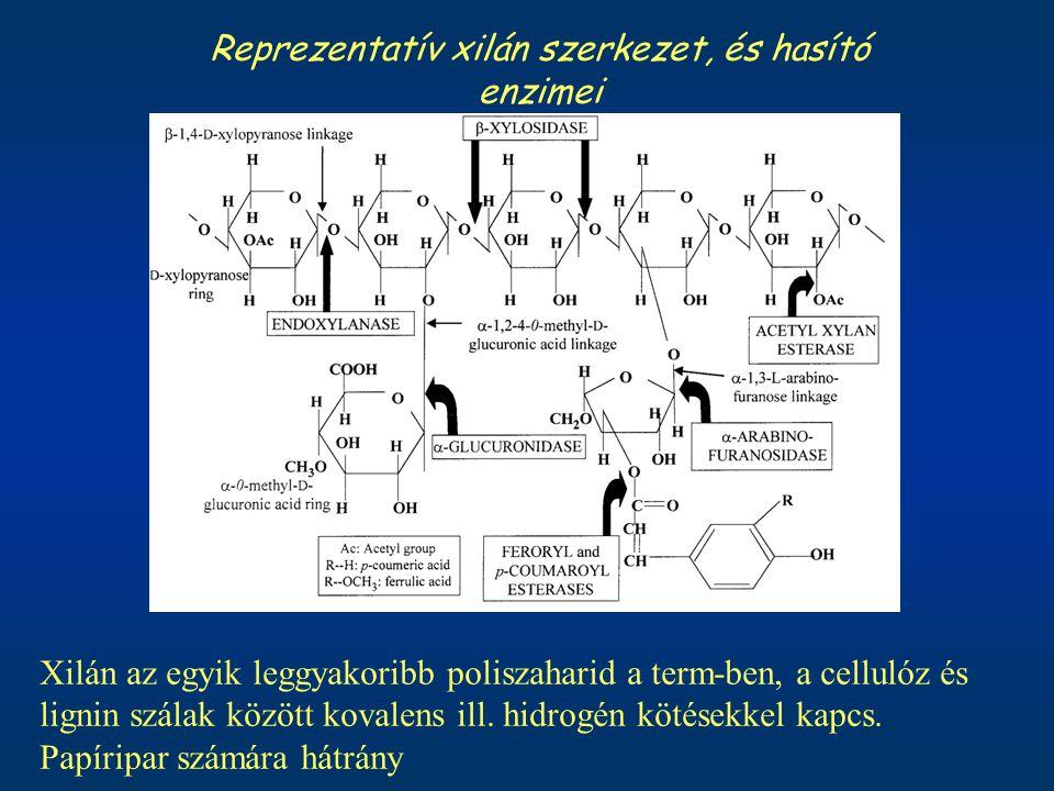 Reprezentatív xilán szerkezet, és hasító enzimei Xilán az egyik leggyakoribb poliszaharid a term-ben, a cellulóz és lignin szálak között kovalens ill.