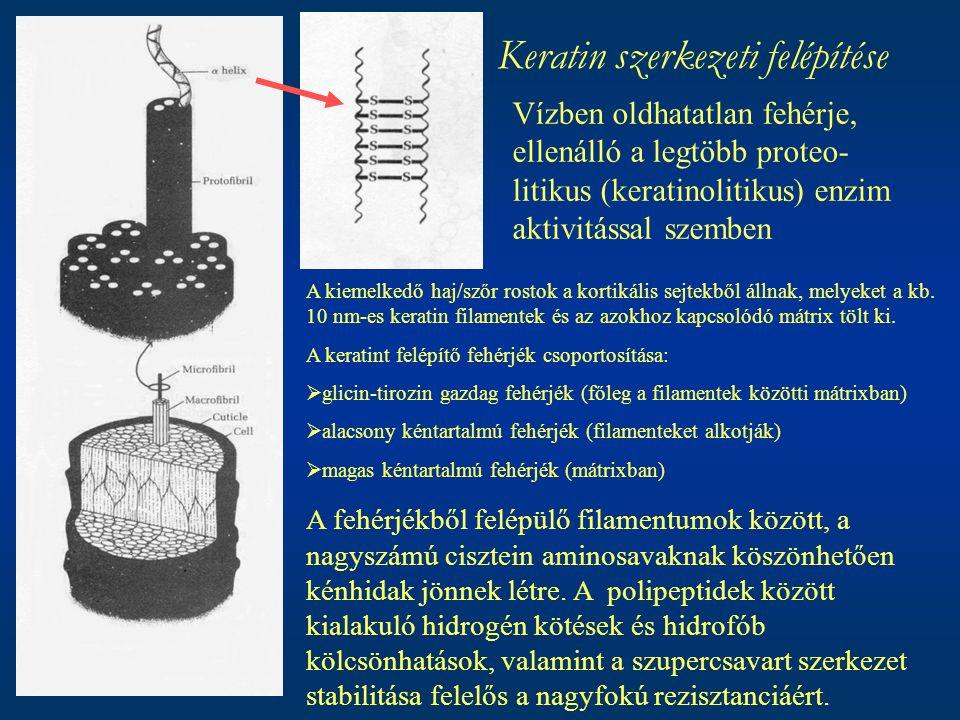 Keratin szerkezeti felépítése Vízben oldhatatlan fehérje, ellenálló a legtöbb proteo- litikus (keratinolitikus) enzim aktivitással szemben A kiemelked