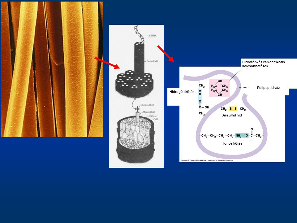 Cellulóz –a legelterjedtebb polimer molekula a bioszférában (a növények sz.súlyának 30-35%-a) –hosszú lánca D-glükóz molekulák β-1,4-es kapcsolatából épül fel –a cellulózban a glükóz láncok úgy helyezkednek el, hogy egy kristályszerű szerkezetet tudnak létrehozni, ami vízhatlan –oldhatatlan, és ellenáll a hidrolízisnek –a növényekben támasztó-szerkezeti molekula (lignocellulóz) –a legegyszerűbb komponens a lignocellulózban –Hidrogén hidak is kialakulnak