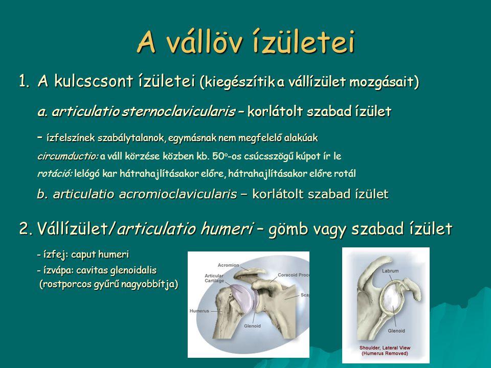 A vállöv ízületei 1.A kulcscsont ízületei (kiegészítik a vállízület mozgásait) a. articulatio sternoclavicularis – korlátolt szabad ízület - ízfelszín
