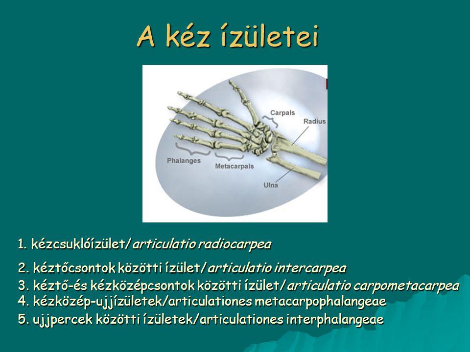A kéz ízületei 1. kézcsuklóízület/articulatio radiocarpea 2. kéztőcsontok közötti ízület/articulatio intercarpea 3. kéztő-és kézközépcsontok közötti í
