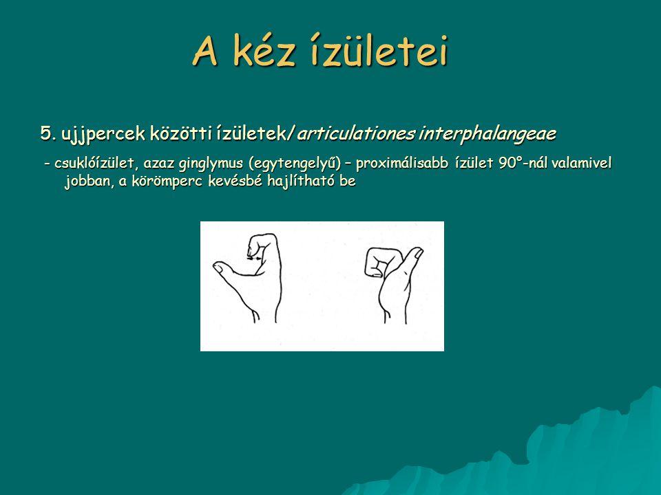 A kéz ízületei 5. ujjpercek közötti ízületek/articulationes interphalangeae - csuklóízület, azaz ginglymus (egytengelyű) – proximálisabb ízület 90°-ná