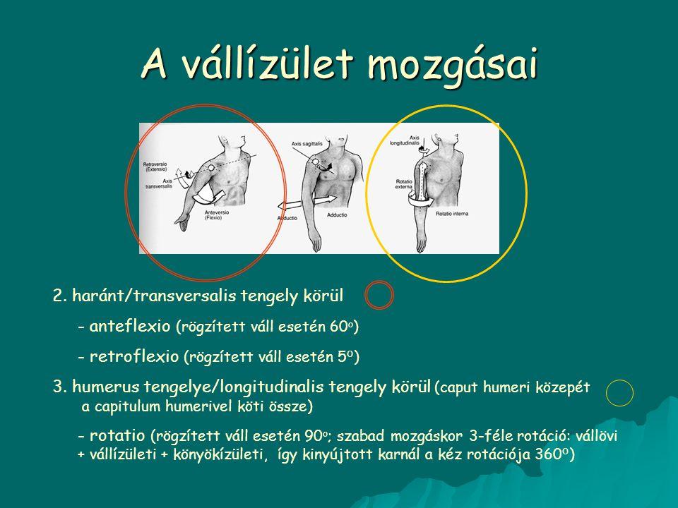 A vállízület mozgásai 2. haránt/transversalis tengely körül - anteflexio (rögzített váll esetén 60 o ) - retroflexio (rögzített váll esetén 5 o ) 3. h