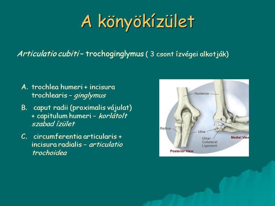 A könyökízület Articulatio cubiti – trochoginglymus ( 3 csont ízvégei alkotják) A.trochlea humeri + incisura trochlearis – ginglymus B. caput radii (p